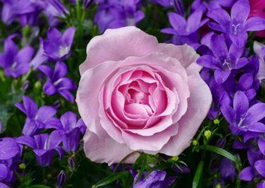 薔薇は幾つ花を咲かせるのか?春と秋に比較しました