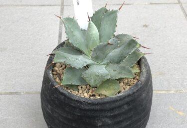 アガベの植替え作業を写真で紹介-お気に入りの鉢で育てよう-