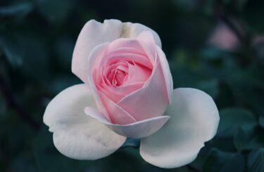 【2月の薔薇】培養土のpH調整と良い新芽の選定はお忘れなく!