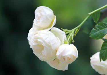 【薔薇】春の芽出し肥のベストタイミングはいつなの?