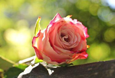薔薇栽培で園芸の基礎はほぼ全て身に付く -薔薇に初挑戦する方々へ-