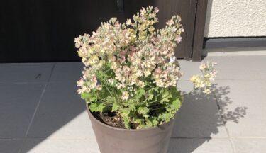 ウインティの鉢植えで冬の玄関やベランダを華やかに
