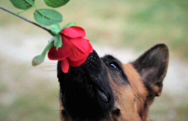 なぜ薔薇の株は集めたくなるのか?薔薇の誘惑とは?
