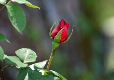 【薔薇】ルージュ・ピエールを摘心完了! -薔薇を頑張らせない必須作業-