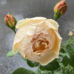 【薔薇】ジュード・ジ・オブスキュアの栽培記録 -注意点や特徴を紹介-