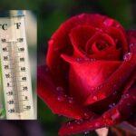 春の薔薇の開花日は平均気温と大きな関係がある