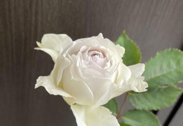 【薔薇】ガブリエルは弱くない!癌腫を克服し無事開花!