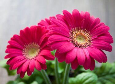 ガーベラは春に花をいくつ咲かせるの?実測してみました
