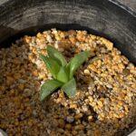 ハオルチアは栽培条件 (日照条件) で成長が激変!実験結果を紹介