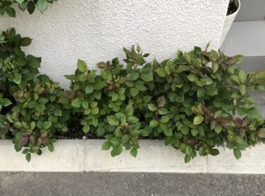 【薔薇】冬剪定の違いで春の花数と成長に大きな差!実例を紹介