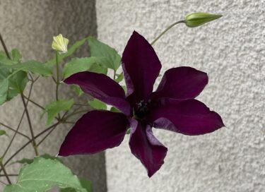 クレマチスの1年間の育て方を写真で紹介 -植え付けから開花・剪定まで-