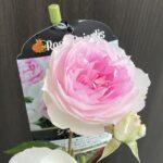 【薔薇】シャリマーの栽培記録と育て方の詳細 -耐病性も確認-
