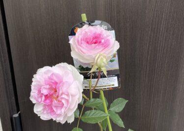 【薔薇】花が咲いた新苗を購入したら直ぐにやるべき事 -花が咲いた弊害の実例も紹介-