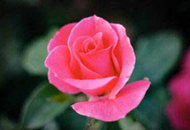 薔薇にハダニが発生しにくい栽培環境とハダニ抑制方法について