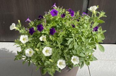 ペチュニアがあふれる鉢植えを作る!手順と実例を紹介します