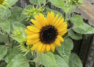 房咲きヒマワリ「ミラクルビーム」の栽培記録 -ヒマワリ一杯の鉢植え作り-