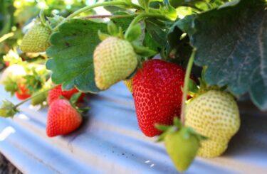 ハダニや葉焼けを受けた苺を回復させる方法!