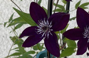 【クレマチス】春と夏で成長に大きな違い!蔓の長さや花サイズの変化の実例