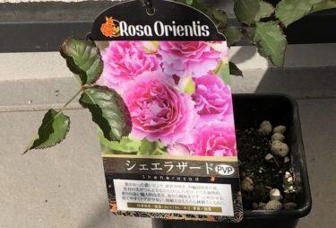 【薔薇】シェエラザートの栽培記録と特徴の詳細 -新苗からの育て方-